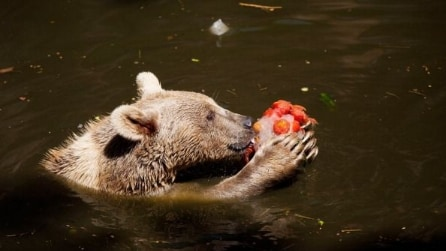 Orso tenta di mangiare la telecamera: nelle fauci del gigante