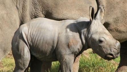 Australia, nuovo cucciolo di rinoceronte bianco al Taronga zoo