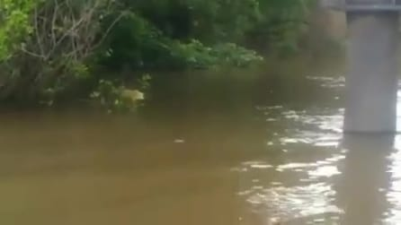 Australia, sorpresa nel fiume: ecco il coccodrillo albino
