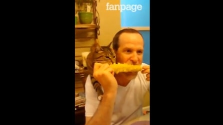 Il gatto goloso di mais che mangia la pannocchia insieme al padrone