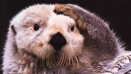 Animali giocherelloni: ecco che combinano un cane e una lontra