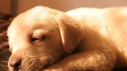 Cuccioli di cane si addormentano con la ninna nanna