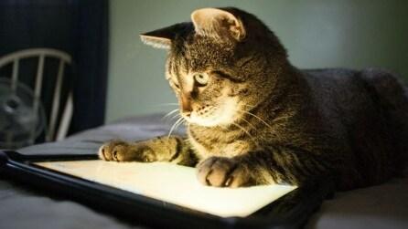 Il gatto tecnologico che gioca con un iPad