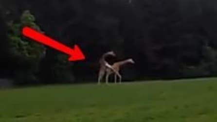 Una giraffa prova l'accoppiamento, ma cade comicamente a terra