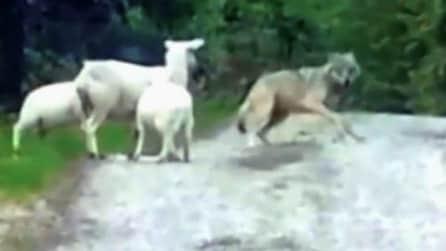 Mamma pecora difende i suoi cuccioli dall'attacco di un lupo e lo mette in fuga