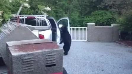 Orso apre la portiera del pick-up con la maniglia: la curiosità aguzza l'ingeno
