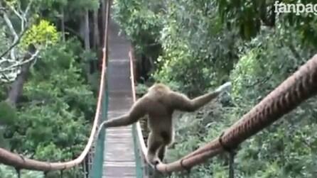 La scimmia equilibrista che ama camminare sospesa nel vuoto