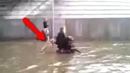 La strada è allagata: Cane spinge il suo padrone sulla sedia a rotelle