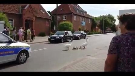 Mamma oca ed i suoi piccoli vengono scortati dalla polizia