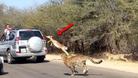 L'antilope inseguita dai ghepardi che si salva saltando nella macchina di un turista