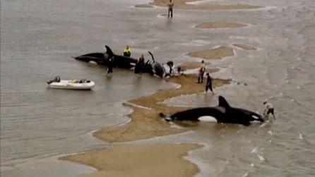 Australia, soccorse sette orche spiaggiate: morti mamma e cucciolo