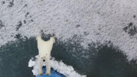 """""""Via di Qua!"""", il cucciolo di orso polare che spinge via una nave da crociera"""