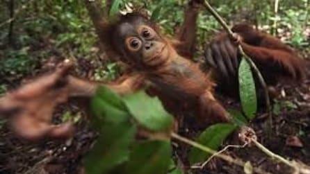 L'amore di mamma orango per il suo cucciolo appena nato