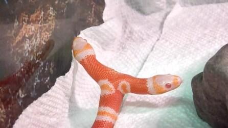 Il serpente albino a due teste