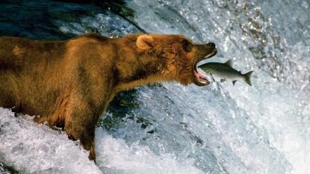 Orsi Grizzly che catturano i salmoni