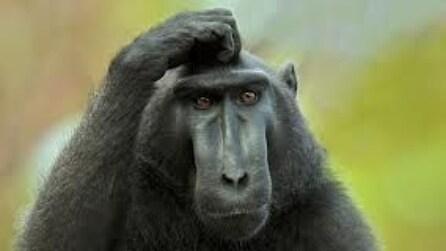 """La scimmia chiede aiuto: """"Liberatemi!"""""""