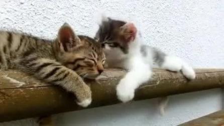 Hey svegliati! Un gattino fa di tutto per svegliare il suo amichetto