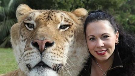 La Ligre, il più grosso felino del mondo