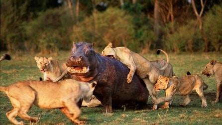 """Ippopotamo """"distrugge"""" l'orgoglio di un branco di leoni"""
