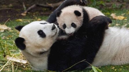 Lo starnuto del cucciolo di panda che spaventa la madre