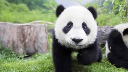 Il cucciolo di panda più impertinente del mondo che vuole scappare dalla culla