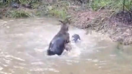 Un canguro prova ad annegare un cane