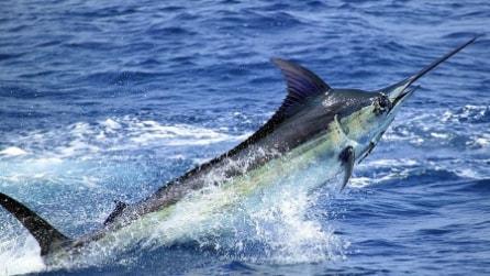 Un grosso Blue Marlin salta su una barca sfiorando i pescatori