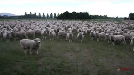 Il pastore chiede, le pecore rispondono