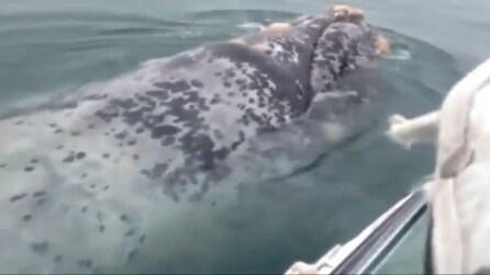 Sorpresa per i turisti, una coppia di balene nuota vicino la loro barca
