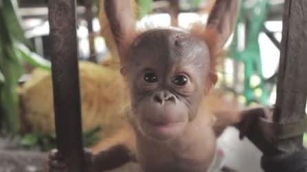 Rickina, la baby orangotango confiscata a un bracconiere