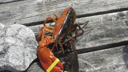 Aragosta multicolore, ecco lo strano esemplare pescato nelle acque inglesi