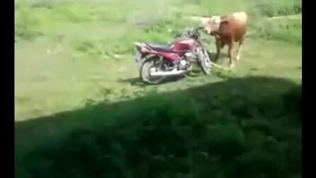 Toro sedotto da una motocicletta, ma qualcosa va storto