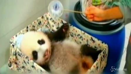 Taiwan, i giochi del cucciolo di panda gigante