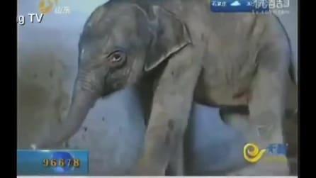 Il pianto disperato del piccolo elefante che la madre ha cercato di uccidere