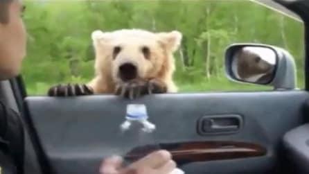 Orsi a portata di ... finestrino!