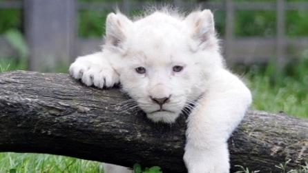 Serbia, cucciolo di leone bianco presentato allo zoo di Belgrado