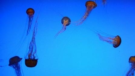 """Il robot """"mangia"""" meduse che ne uccide 900 kg in un'ora"""