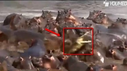 Un grosso coccodrillo riesce a scappare da un branco di ippopotami