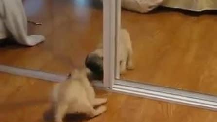 Cucciolo di Carlino si vede per la prima volta nello specchio, ecco la sua reazione