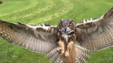 Spettacolo della natura - Il volo del gufo reale in slow motion