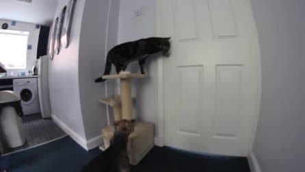 """Un gatto come """"Lupin"""", apre la porta per fuggire dalla cucina"""