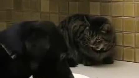 Cane goloso ruba al gatto il suo cibo