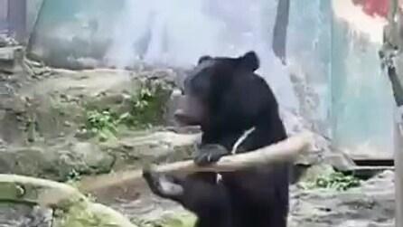 """L'orso """"campione di Kung fu"""", stupisce tutti allo zoo"""