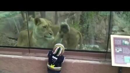 Incredibile, una leonessa cerca di mangiare un bambino allo zoo