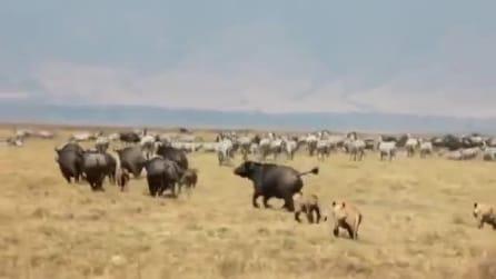Bisonte cerca di salvare il figlio dall'attacco di 4 leoni