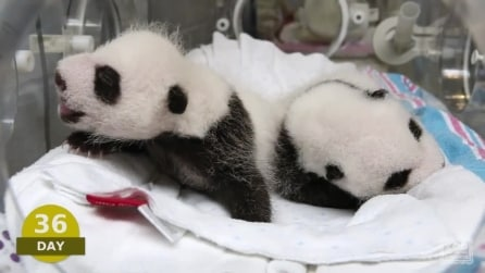 I primi cento giorni di vita di due cuccioli di panda