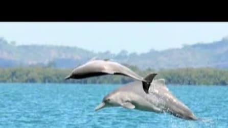 """Avvistati Australia i rari delfini con le """"gobbe"""""""