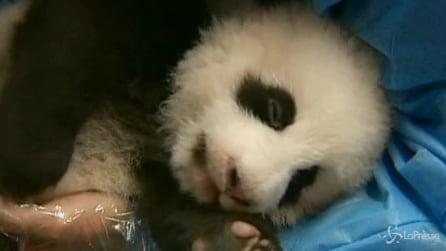 Cina, 14 cuccioli panda compiono primi 100 giorni di vita a Chengdu