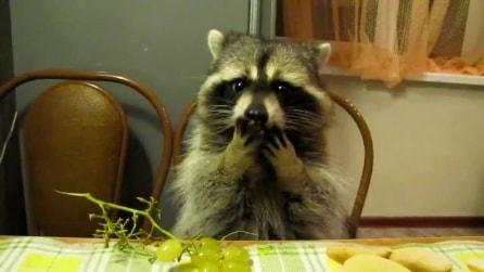 Un procione educato, mangia l'uva seduto a tavola