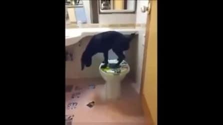 Guardate quanto è educato questo cane, quando fa pipì... in bagno!